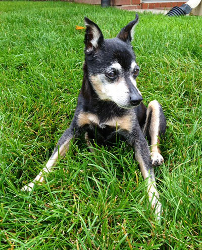 Old - Miniature Pinscher